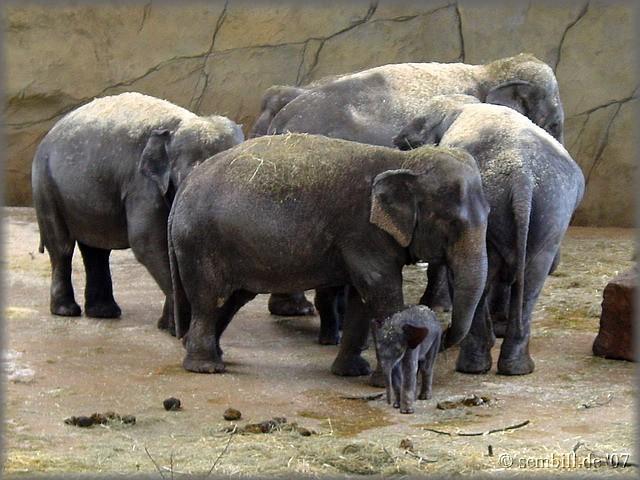 21.4.2007 Neues Elefantenbaby 'Ming Jung'